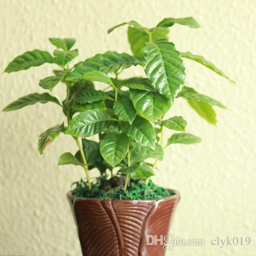 Coffee Bean Seeds, Balcony Bonsai Tree Plant Seed 20 particles/bag